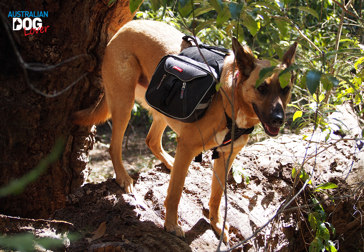 EzyDog Summit Dog Backpack - Aramis Malinois standing on old tree trunk