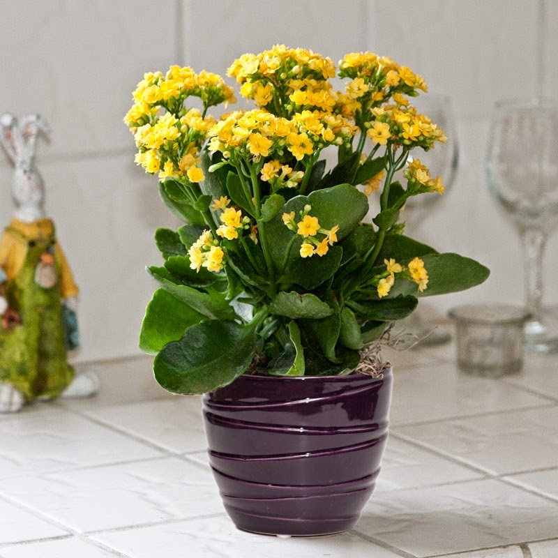 Kalanchoe3 Palm House Plant With Yellow Flowers on vine plant with yellow flowers, broadleaf plant with yellow flowers, succulent plant with yellow flowers, fern plant with yellow flowers,
