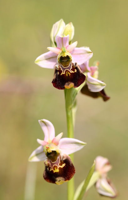 Late Spider Orchid - Kent