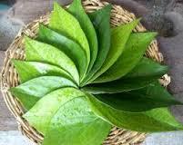 Beberapa Manfaat daun sirih untuk daerah kerwanitaan