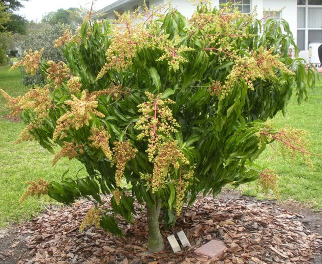 cara menanam mangga agar cepat berbuah rumah dan kebun