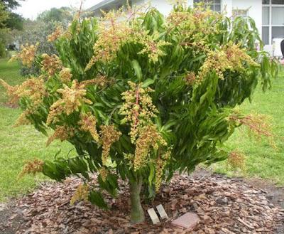 bunga mangga lebat dan subur