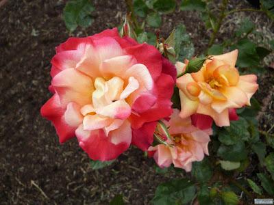 ピンク柄の薔薇