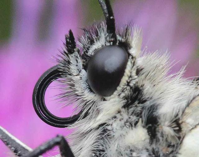 Baumweißling, Aporia crataegi