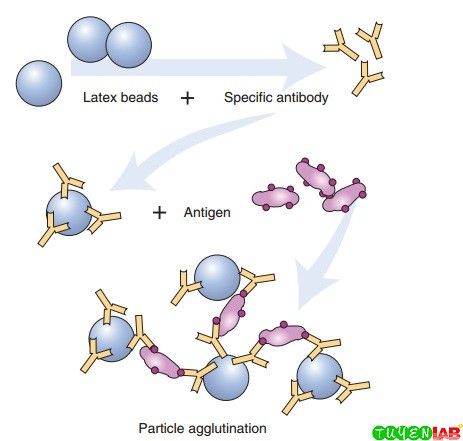 Alignment of antibody molecules bound to the surface of a latex particle and latex agglutination reaction.