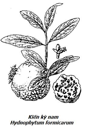 Hình vẽ Kiến kỳ nam - Hydnophytum formicarum - Nguyên liệu làm thuốc Chữa Đi Lỏng-Đau Bụng
