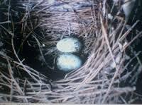 Burung Murai Batu - Solusi Memecahkan Bagaimana Agar Burung Murai Batu Cepat Bertelur - Penangkaran Burung Murai Batu