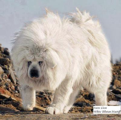 Anjing Tibetan Mastiff Albino