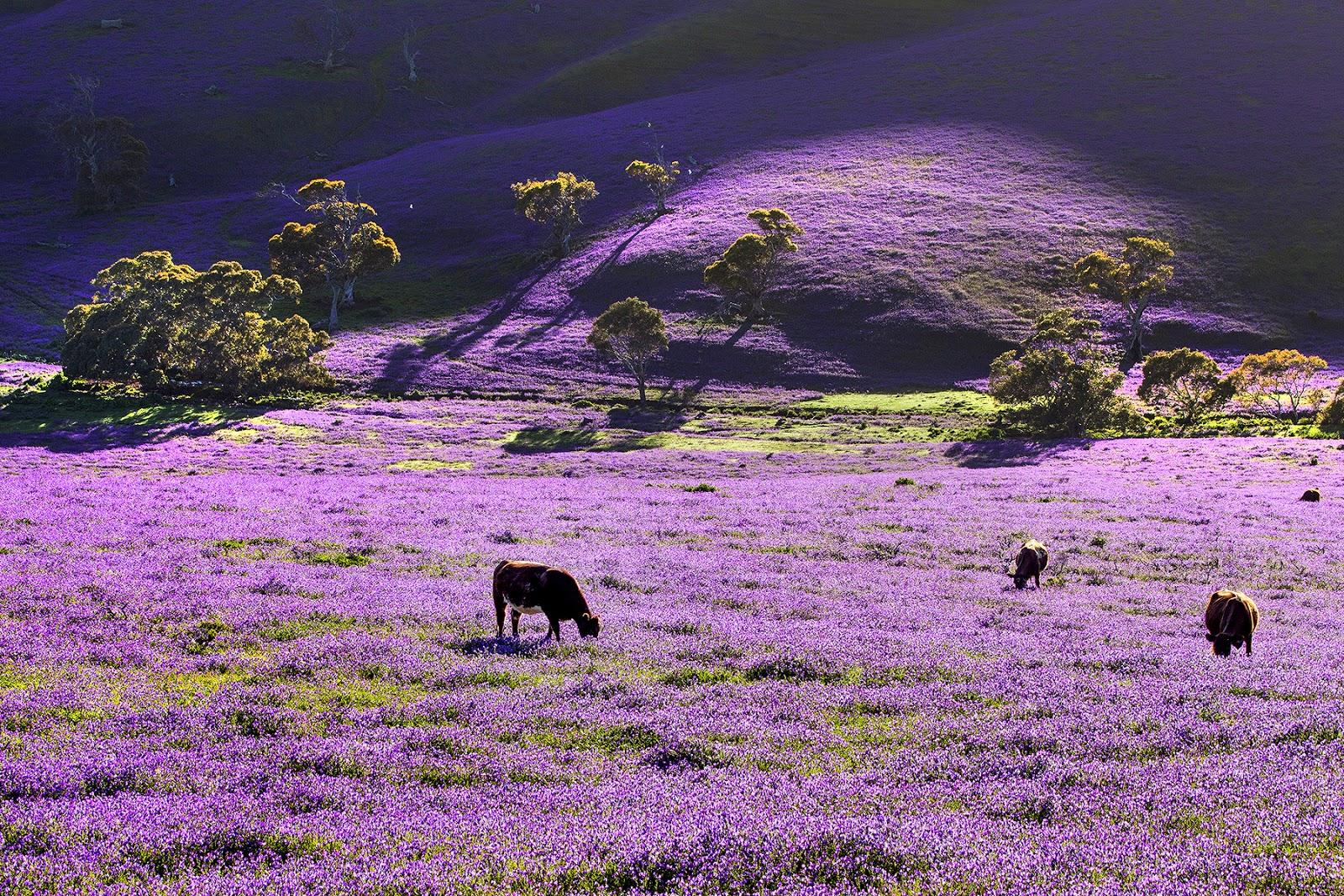 Australia-Wiosna w fioletach