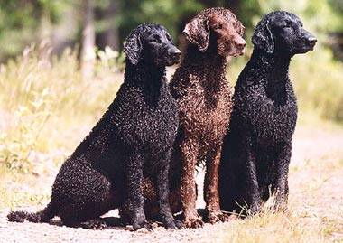 Saved by dogs: Flat Coated and Curly Coated Retrievers