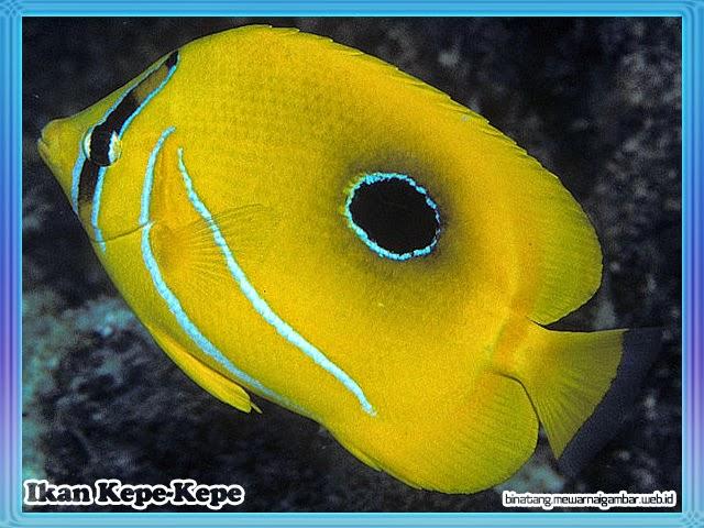 gambar ikan kepe-kepe