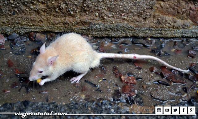 Karni Mata, templo de las ratas de Deshnok - Bikaner. Rata blanca.