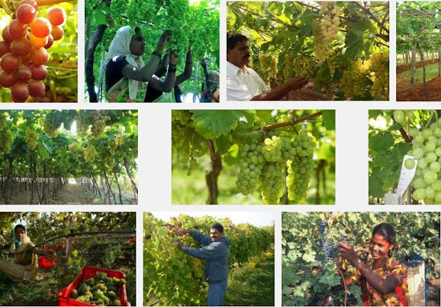 Growing grape in india