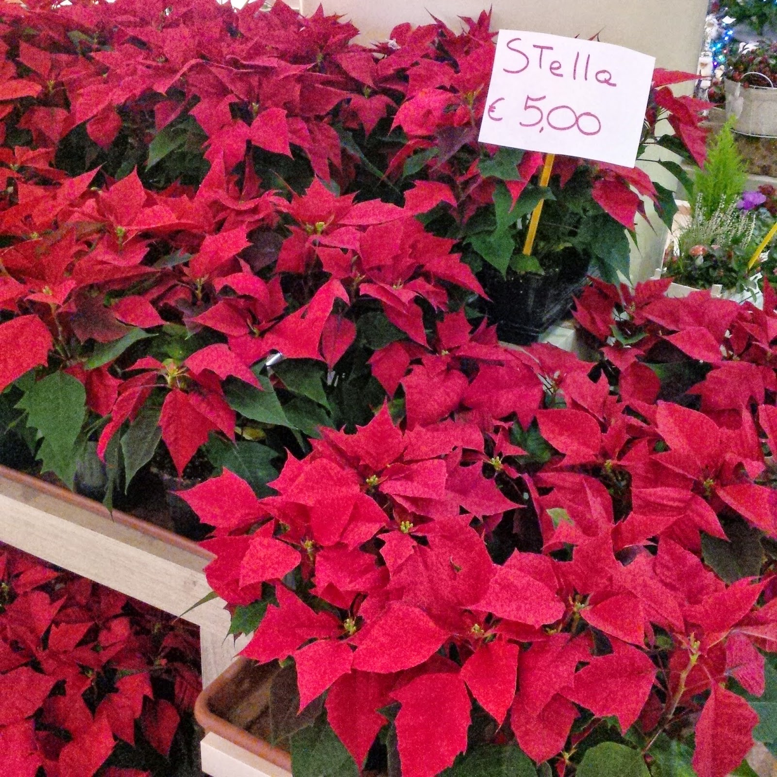 Christmas poinsettias in bloom