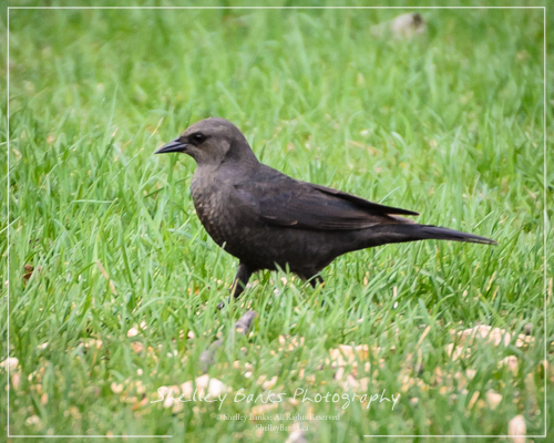 Female Brewer's Blackbird. Copyright © Shelley Banks, all rights reserved