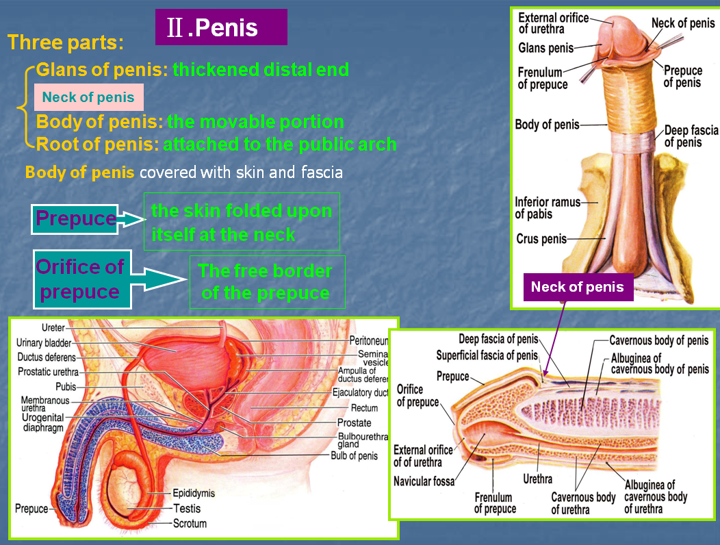 Total Penis, Scrotum, And Lower Abdominal Wall Transplantation