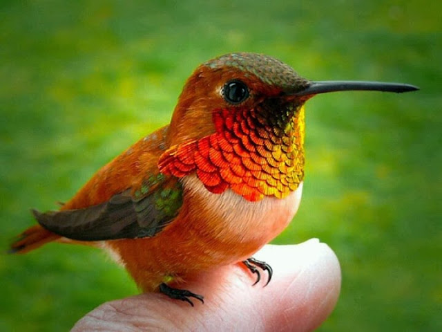 Small golden orange hummingbird sitting on a finger