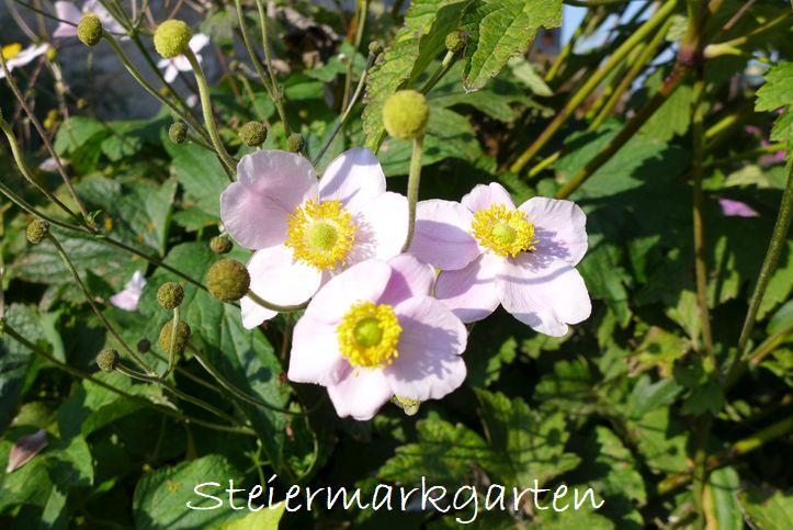 Herbstanemonen-Steiermarkgarten