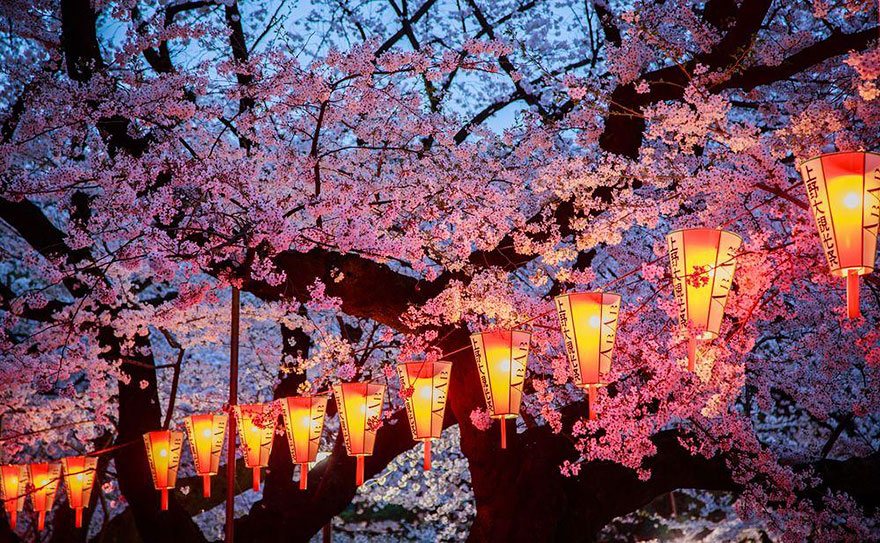 Evening cherry blossoms
