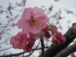 桜だより ヨコハマヒザクラ・ソメイヨシノ