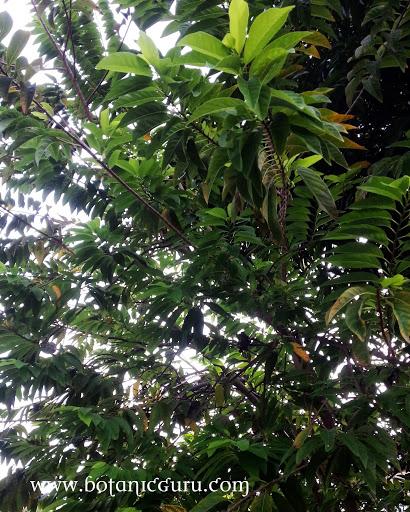 Annona squamosa, Custard Apple, Sugar Apple, Sweet Sop tree