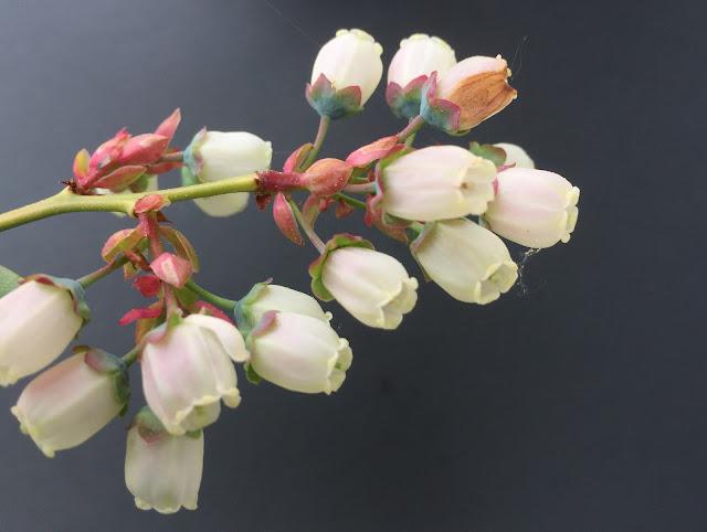 Blüten der pinken Heidelbeeren