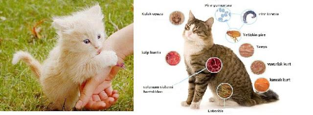 kedi-parazitleri