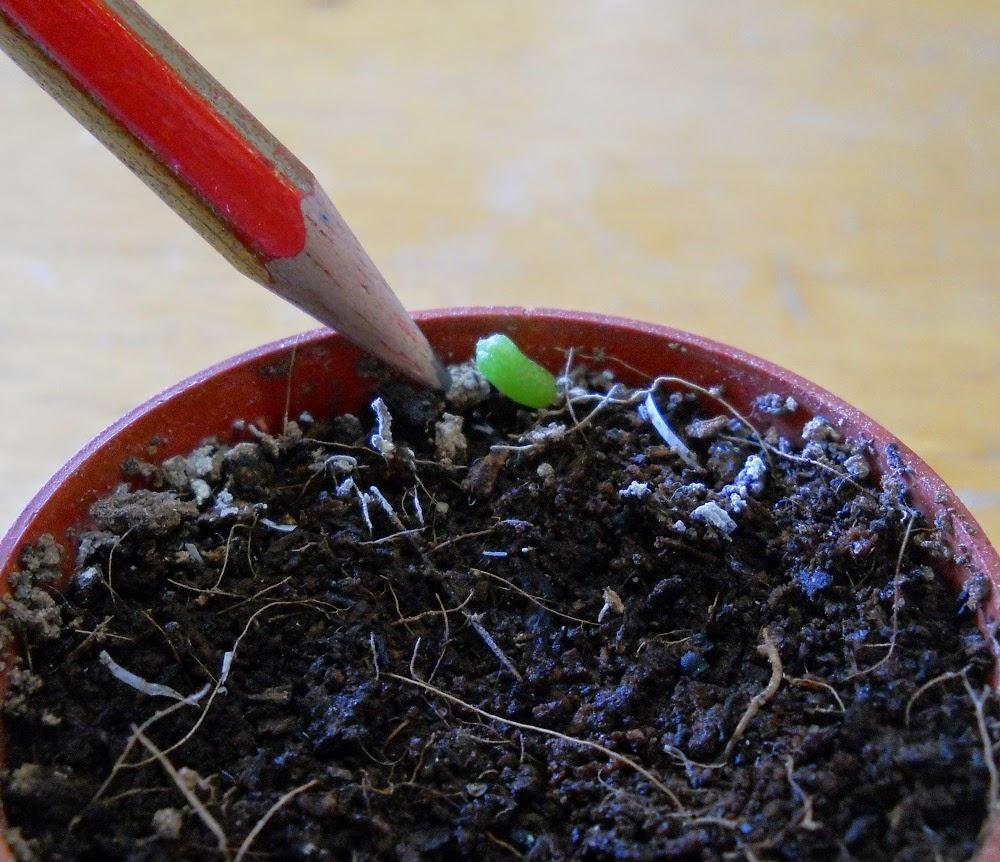 reproducción de cactus peyote por semilla