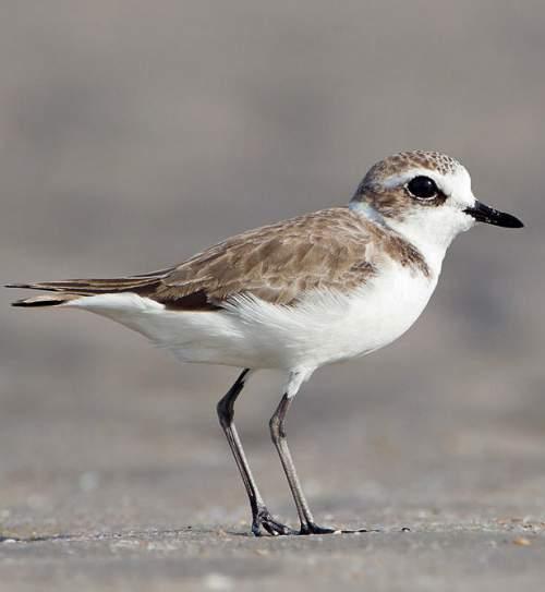 Birds of India - Image of Lesser sand-plover - Charadrius mongolus