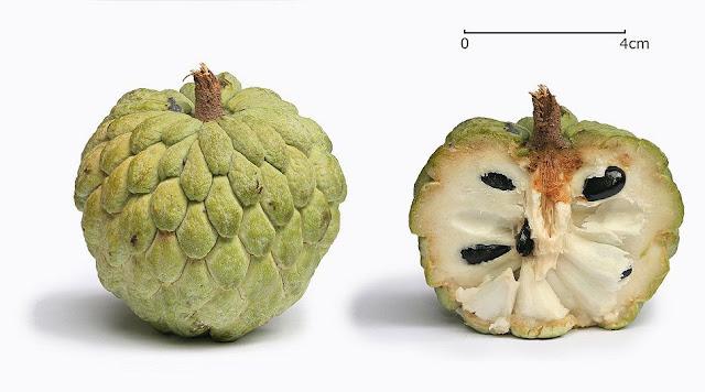 Bên trong quả Na - Annona squamosa - Nguyên liệu làm thuốc Chữa Cảm Sốt