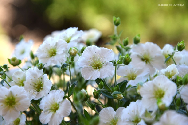 Arenaria-montana-Muntain Sandwort