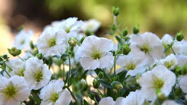Arenaria montana. Plantas mediterráneas para jardines de rocas