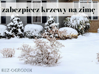 krzewy w ogrodzie przykryte śniegiem
