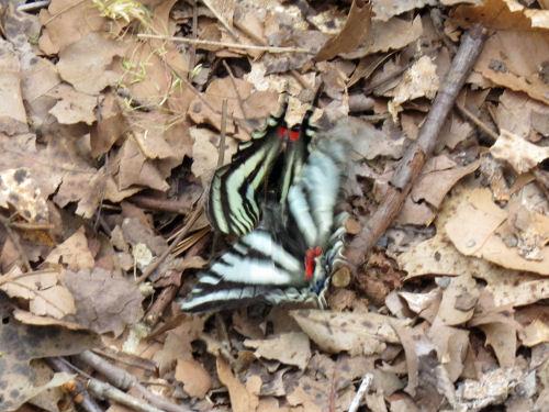 zebra swallowtail butterflies
