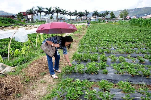 Strawberry picking at La Trinidad, Benguet
