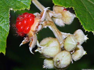 Broadleaf bramble fruit images wallpaper