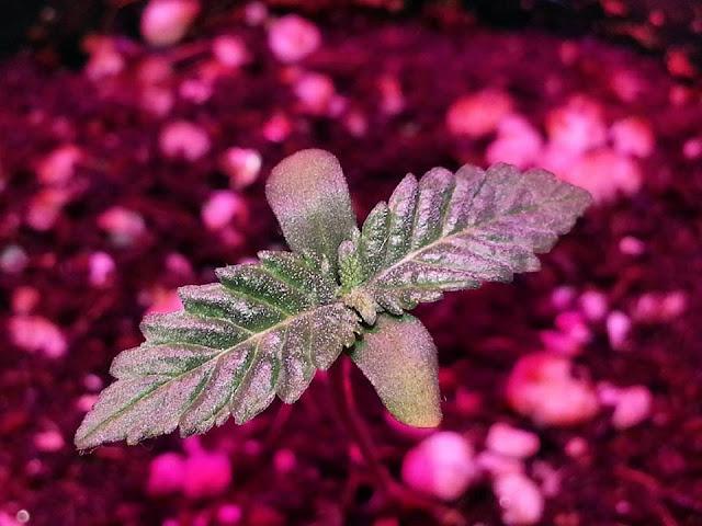 Marihuana Medicinal, Cannabis Terapeutico, Medical Marijuana