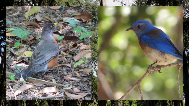 American Robin and Western Bluebird at Stanford University