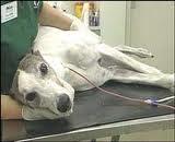 cães doadores de sangue