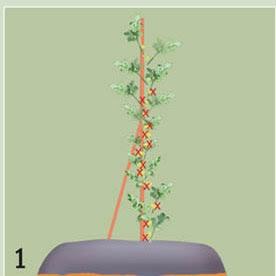 teknik rempel bunga agar semangka buahnya tumbuh subuh