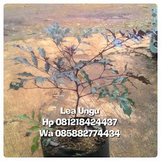 Jual pohon lea ungu tanaman hias harga murah