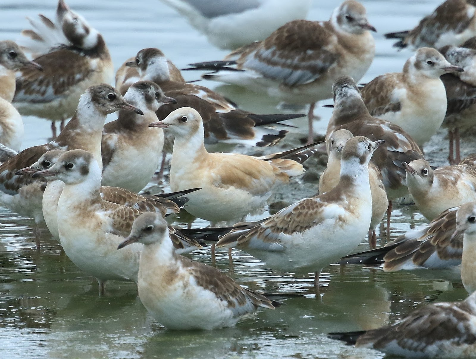 Montgomeryshire birds more bhgs cinnamon twist Bhg s
