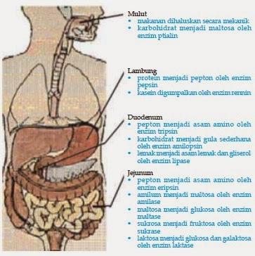 Proses Pencernaan Makanan Pada Manusia Lengkap Secara ...