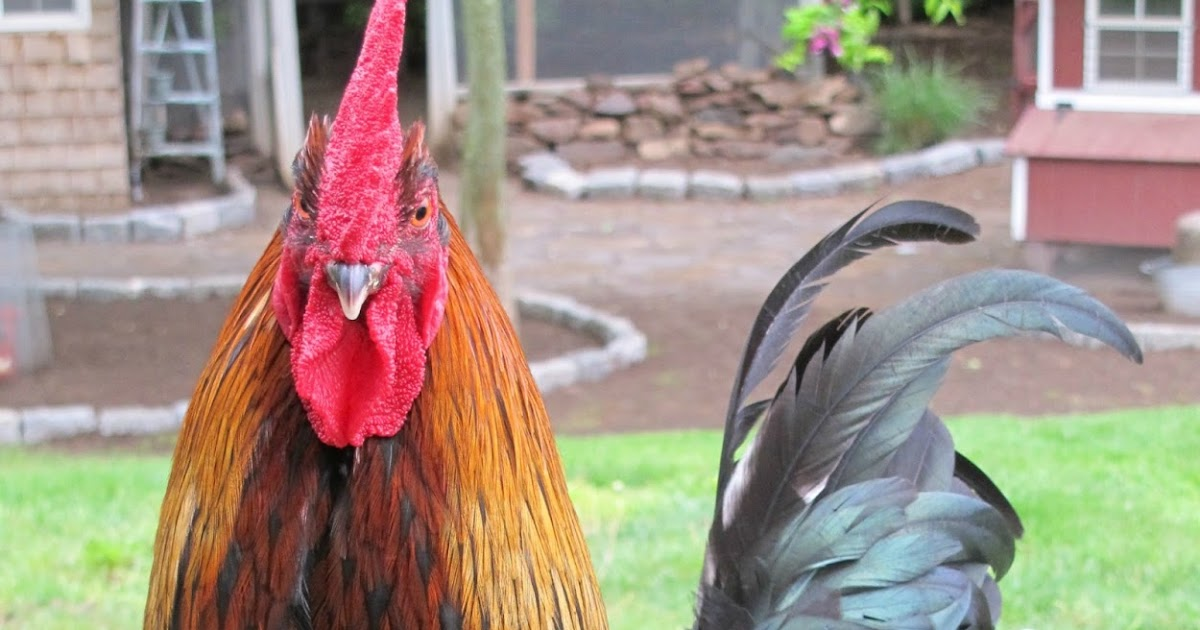 The Chicken Chick®: Veterinary Care for Backyard Chickens ...