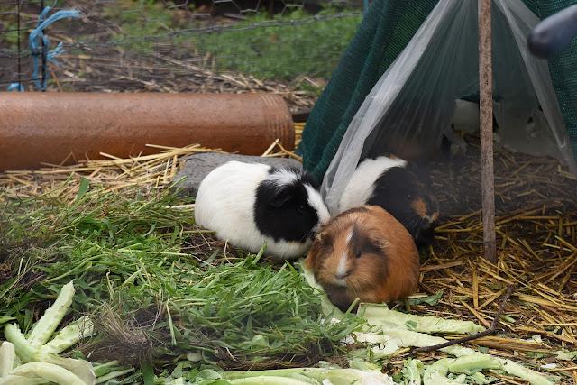 Guinea pigs, cavies, cavies in community garden, herbivores