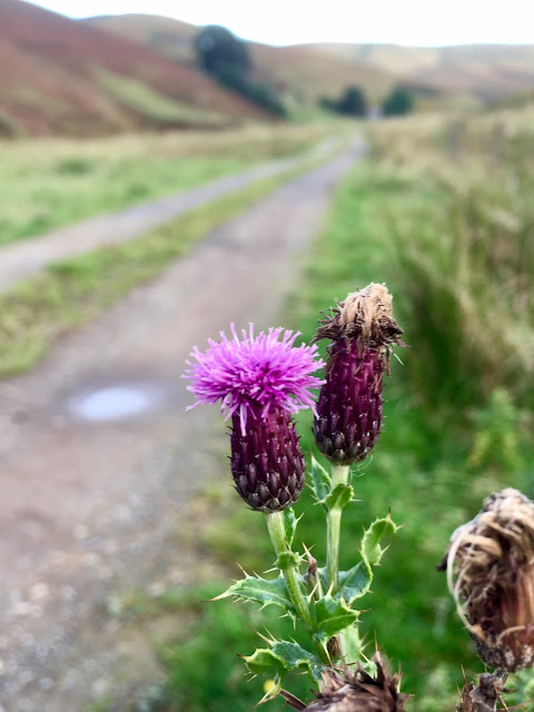 Scottish thistles