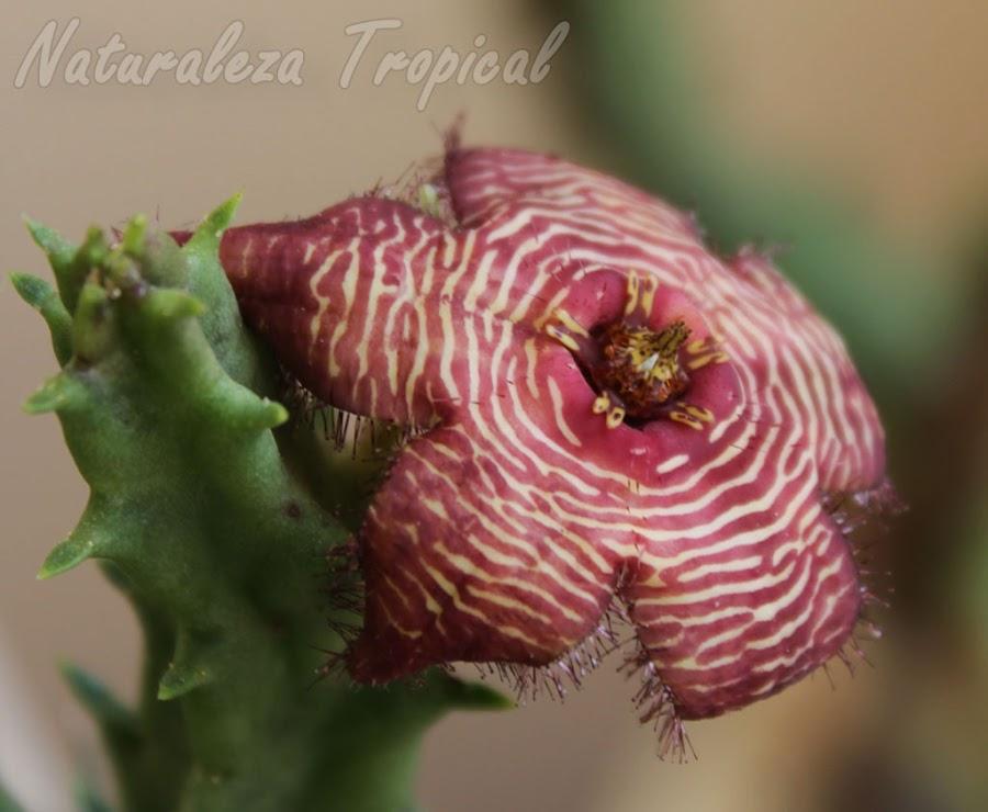 Floración de la planta suculenta Tromotriche revoluta var. tigrida