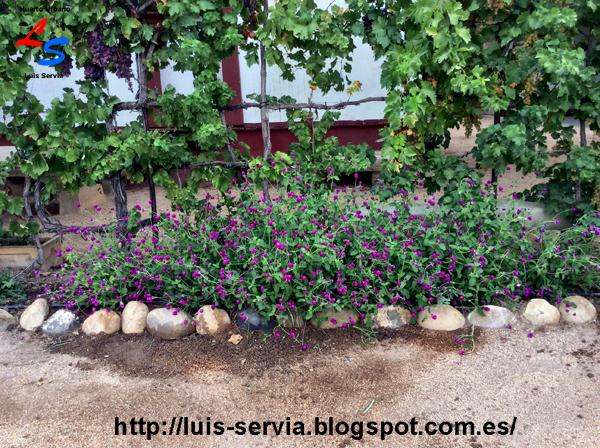 aqu podemos ver lo que os deca antes estupendo contraste de color verde intenso de sus hojas con su color prpura violeta morado de sus flores
