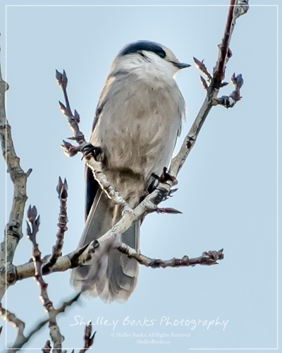Gray Jay. Copyright © Shelley Banks, all rights reserved.