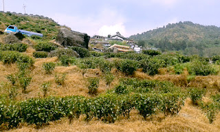 Passing through the tea gardens of Kurseong
